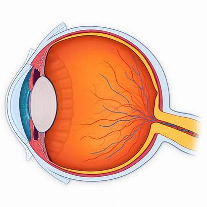 Eye Anatomy Clipart Section Head Neck Cross