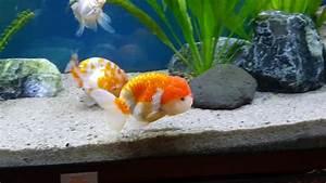 New Lionhead-Ranchu (Lionchu) Goldfishs - YouTube