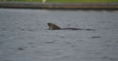Boat R Johns Pass by Authorities Tracking Injured Dolphin At S Pass