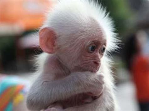 Baby Animals Wallpapers - baby monkey wallpapers baby animals