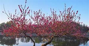Heidelbeeren Pflanzen Zeitpunkt : 25 best ideas about pfirsichbaum on pinterest errinnerungs baum vincent van gogh and ~ Orissabook.com Haus und Dekorationen