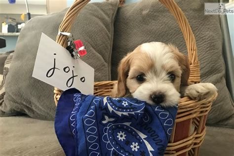 Rascal Cavanese Puppy For Adoption Near San Antonio Texas  A