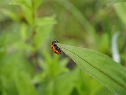 Beetle Ladybird Wallpapers Elytron Ladybug Coccinellidae Greepx