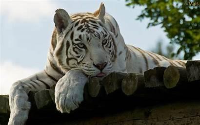 Tigre Branco Parede Papel Osmais Wallpapers