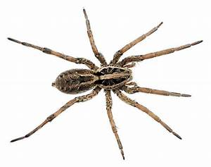 Spider Identification Chart California Spider Bite Guide Know Your Spiders Prepper 39 S Will