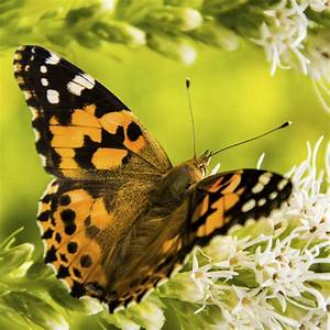 Memorial Butterfly For Release At Funerals