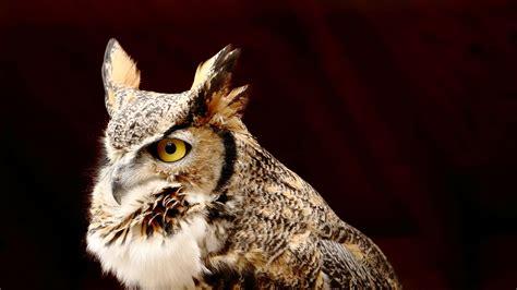 Zoo Idaho - Great Horned Owl Fact Sheet