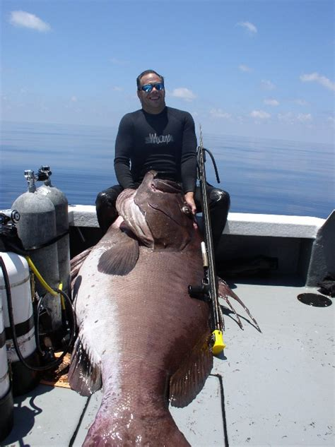 fish grouper warsaw giant spearfishing fishing caught extravaganza ever largest forums spearboard source water