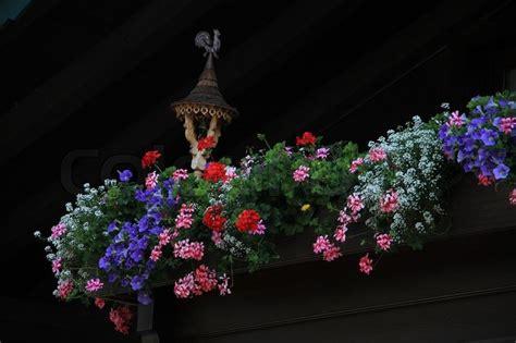 Blühende Pflanzen, Wie Rosa Und Roten Geranien, In Farben