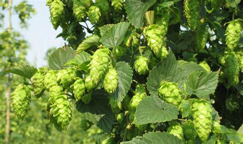 hop yard harvests  crop siouxfallsbusiness