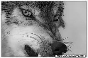How To Draw A Wolf Snarling | www.imgkid.com - The Image ...
