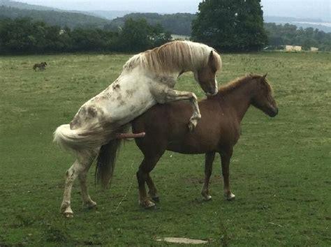 Video Hengst Beim Decken Shetty Und Conemara A Pferde