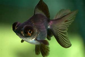 Black Moor Goldfish. | Fantastic Fish | Pinterest ...