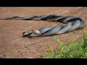 snake fight to death, cobra fight, King Cobra vs Black ...