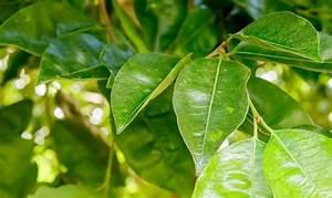 Gummibaum Verliert Blätter : birkenfeige tipps ~ Lizthompson.info Haus und Dekorationen