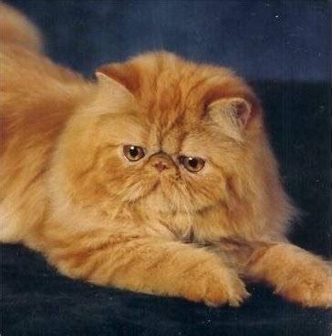 gatti persiani a pelo corto gatti persiani pelo lungo caratteristiche dei gatti
