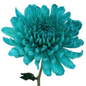 bulk carnations turquoise wedding cremon flower