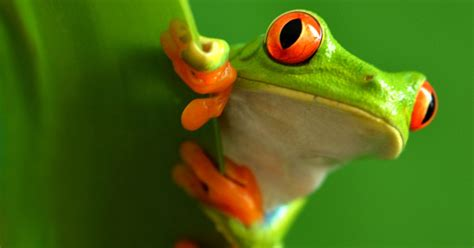 red eyed tree frog facts  kids information pics video