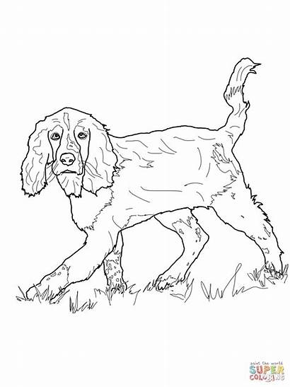 Spaniel Cocker Springer Coloring Pages English Setter