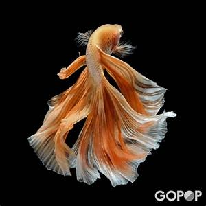 Top 8 Things To Know About Siamese Fighting Fish (with ...