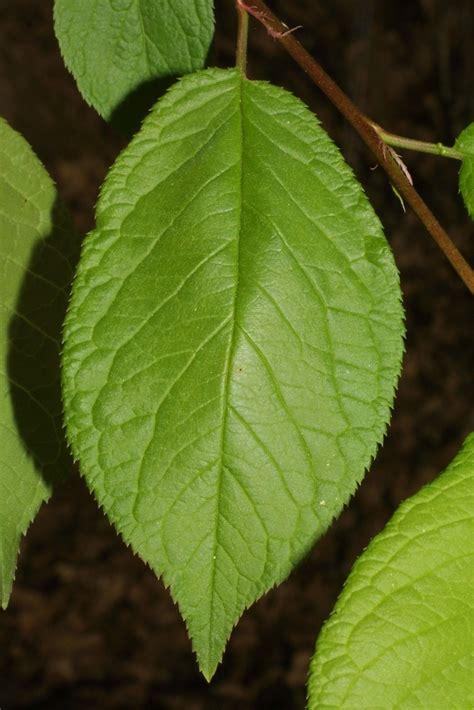 leaf plum tree prunus americana american plum go botany