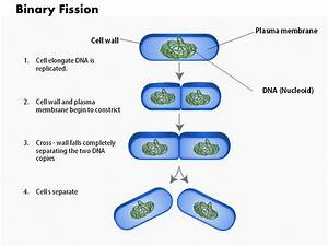 Explanation Diagrams Of Fission : 0714 the process of binary fission medical images for ~ A.2002-acura-tl-radio.info Haus und Dekorationen