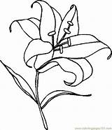 Lily Coloring Pages Easter Flower Lilies Drawing Clipart Line Stargazer Printable Print Cartoon Calla Colouring Clip Svg Tiger Draw Getdrawings sketch template