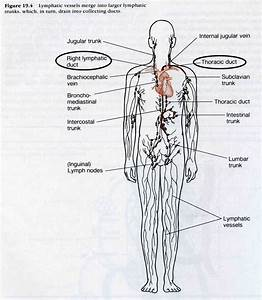 20 Best Nursing School  Lymphatic System Images On
