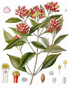 Cloves (Lavang) | Spices of Kitchen