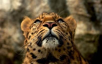 Leopard Head Animals Wallpapers Desktop Wild Fond