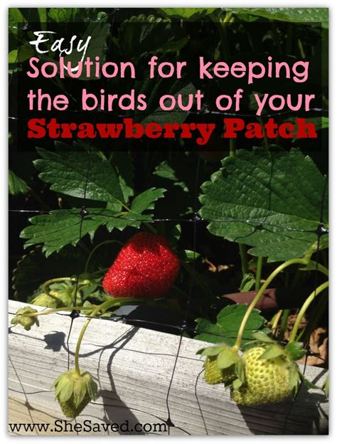 keep birds out of garden garden tip how to keep the birds out of your strawberry