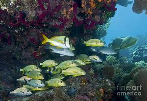 A Diversity Of Grunt Fish Photograph by Terry Moore