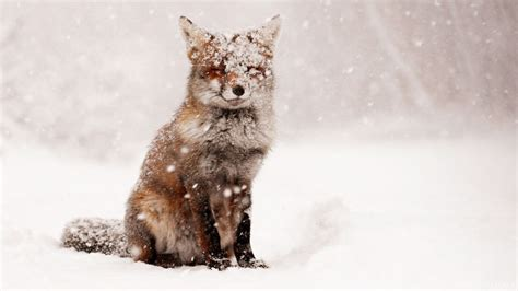 fox snow snow winter nature animals foxes wallpaper