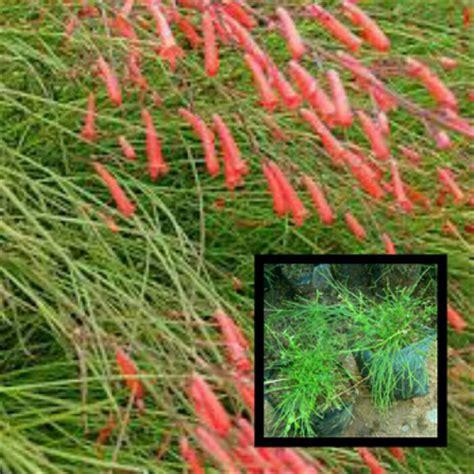jual bibit tanaman bunga air mancur lapak hijau alam