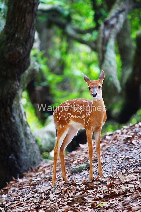 white tailed deer fawn   oak trees  wayne