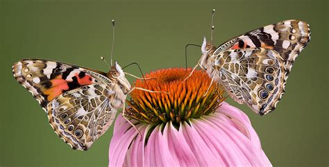 natures olympians record breaking butterflies natural
