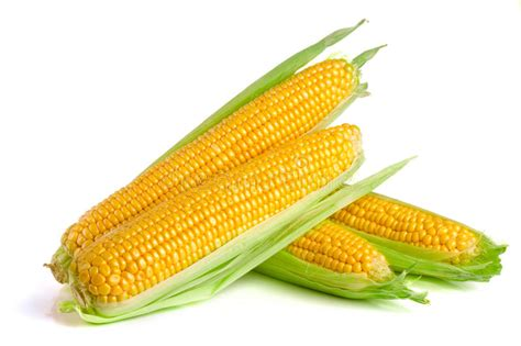 ripe ear  corn stock image image  mellow grain