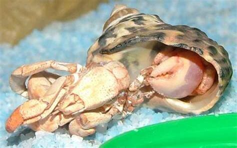 Do Hermit Crabs Shed Shell by Is My Hermit Crab Dead Or Molting