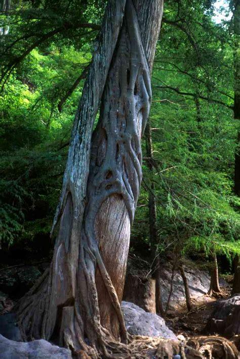 alamos trees ficus cotinifolia