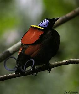 26 best images about Birds of paradise on Pinterest ...