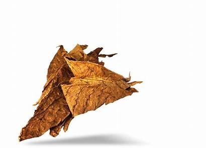 Tobacco Leaf Transparent Clipart Resolution Pngimg