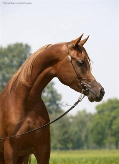 araber pferde fuer freizeit schau zucht western distanz