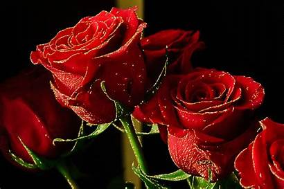 Imagens Rosas Lindas Gifs Flowers Vermelhas Amor
