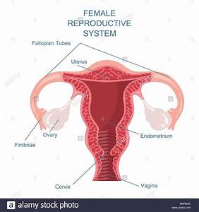 Female Anatomy Diagram High Resolution Stock Photography