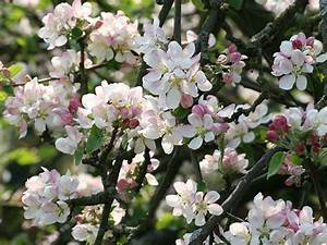 Crab Apple  U2014 Bach Flower Essence For Obsession With Order