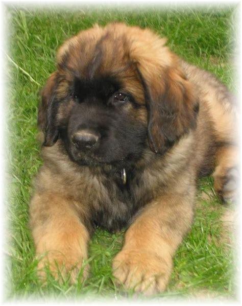 leonberger  favorite ich love puppies leonberger