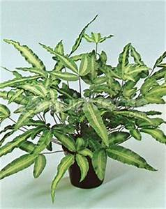 Fougère Pteris Cretica : scindapsus pictus green cie pinterest plante interieur plante jardin et jardins ~ Melissatoandfro.com Idées de Décoration