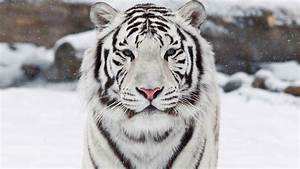 White Bengal Tiger Wallpaper - WallpaperSafari