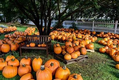Halloween Pumpkin Autumn Patch Desktop Wallpapers Backgrounds