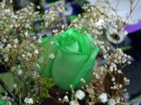 green rose wallpapers hd pictures  hd wallpaper